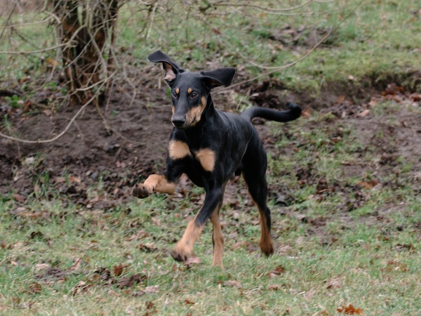 Grafik: Dobermannr�de im Galopp
